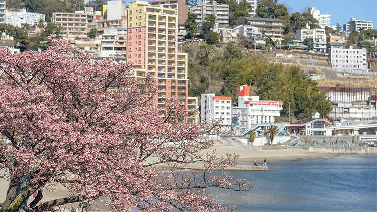 Atami City Walking, Plum Picking & Cherry Blossom Festival